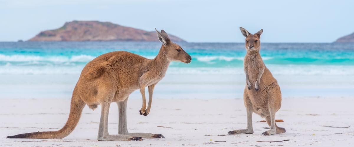 Lucky Bay Beach in Esperance with Kangaroos on shorline.