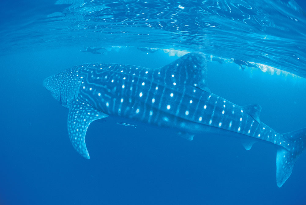 Swimming with the Whale Sharks at Ningaloo, Western Australia.
