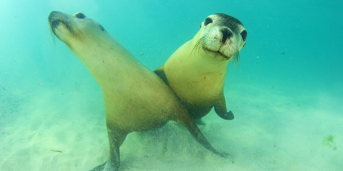 swim with jurien bay sea lions