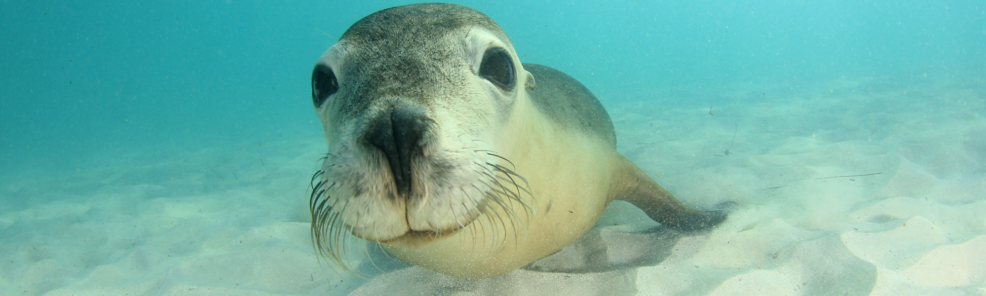 Australian sea lion smiling underwater at Jurien Bay in Western Australia.