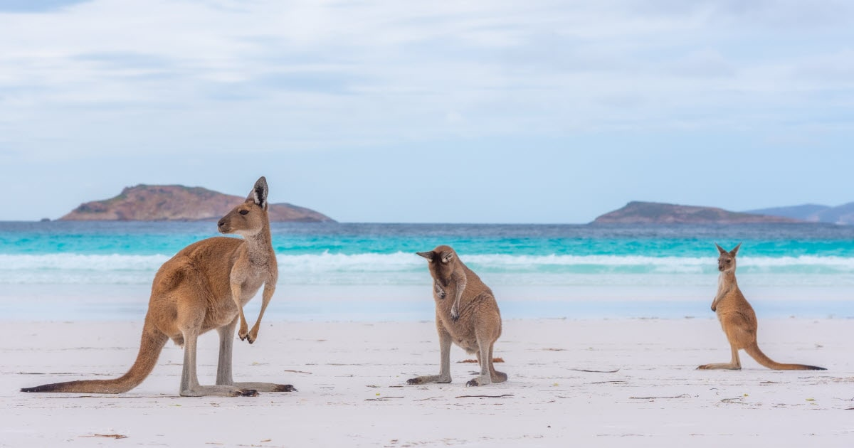 Kangaroos relaxing beachside at Lucky Bay in Esperance, WA.