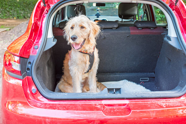 dog in car at pet friendly staycation perth