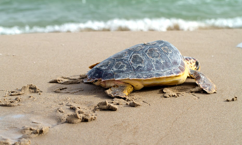 Turtle on beach in Shark Bay, WA.