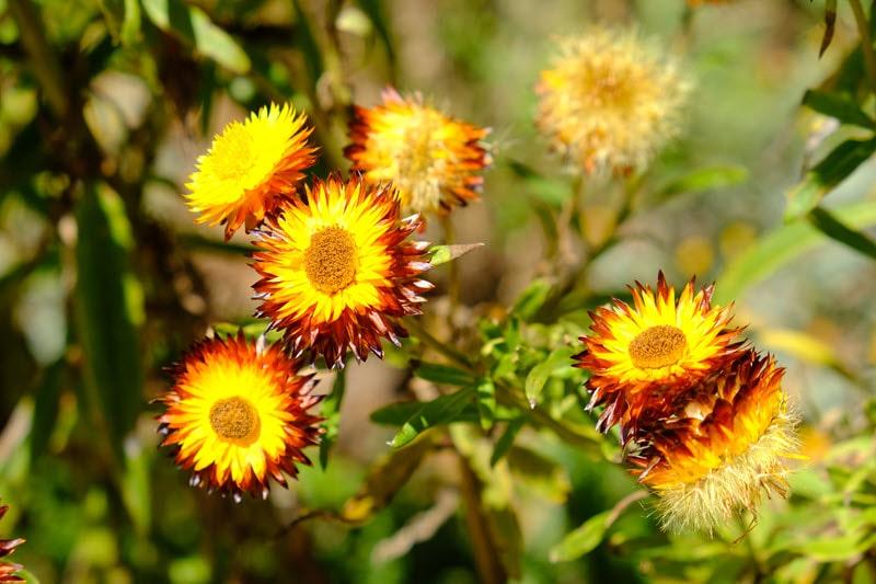 Kings Park Wildflowers Western Australia
