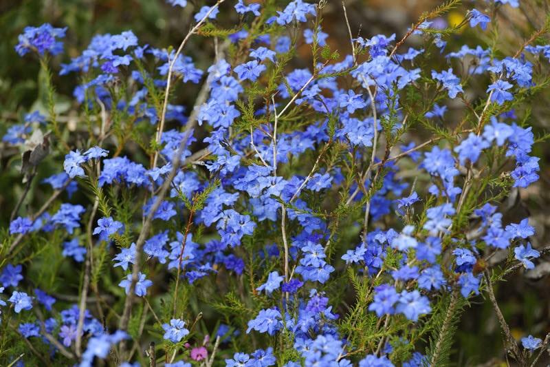 Lesueur National Park Wildflowers Western Australia