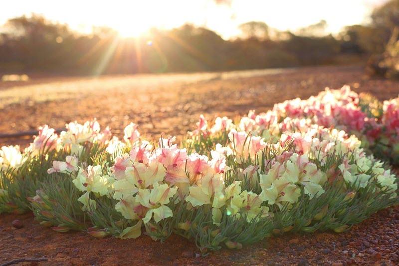 Visit Perenjori Wildflowers Wreathflower